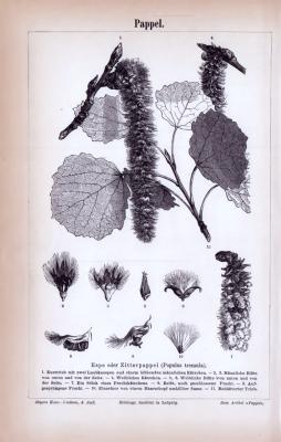Stiche aus 1885 zeigen Blattformen, Samen und Früchte von Pappeln.