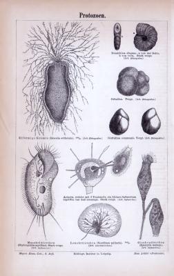 Stich aus 1885 zeigt verschiedene Protozoen aus mikroskopischer Ansicht.