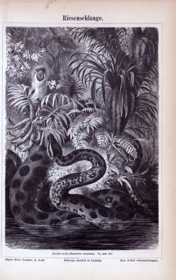 Stich aus 1885 zeigt eine Anaconda Riesenschlange in natürlicher Umgebung.