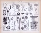 Stiche aus 1885 zeigt Aufbau verschiedener Pilzarten.