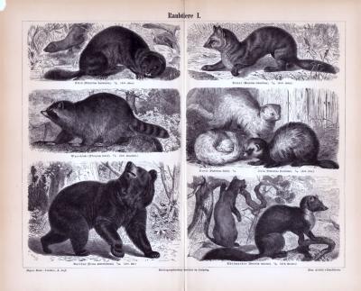 Stiche aus 1885 zeigen verschiedene Arten von Raubtieren in natürlicher Umgebung.