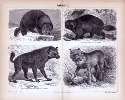 Stiche aus 1885 zeigen 4 Arten von Raubtieren in natürlicher Umgebung.