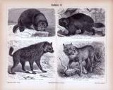 Stiche aus 1885 zeigen 4 Arten von Raubtieren in...