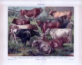Chromolithographie aus 1885 zeigt 8 verschiedene Haustier Rinderrassen.