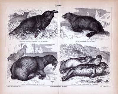 Stich aus 1893 zeigt 4 verschiedene Robbenarten.