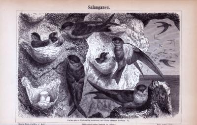 Stich aus 1885 zeigt Salanganen (Schwalben) und ihre Nester in einer Naturlandschaft.