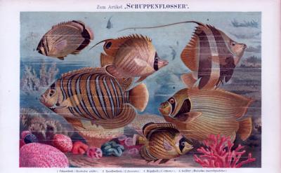 Chromolithographie aus 1885 zeigt verschiedene Schuppenflosser.