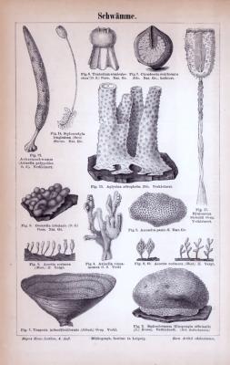 Stich aus 1885 zeigt verschiedene Arten von Naturschwämmen.
