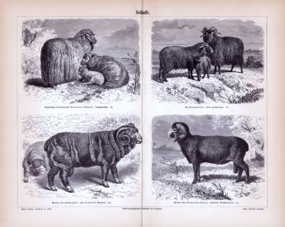 Stich aus 1885 zeigt 4 verschiedene Arten von Schafen.