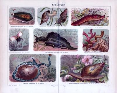 Chromolithographie aus 1885 zeigt verschiedene Schneckenarten.