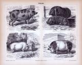 Stich aus 1885 zeigt verschiedene Arten von Schweinen.