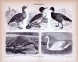 Stich aus 1885 zeigt verschiedene Arten von Schwimmvögeln.