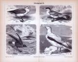 Stich aus 1885 zeigt 4 verschiedene Arten von Schwimmvögeln.