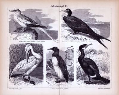 Stich aus 1885 zeigt 5 verschiedene Arten von Schwimmvögeln.