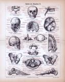 Stich aus 1885 zeigt das menschliche Skelett und seine...