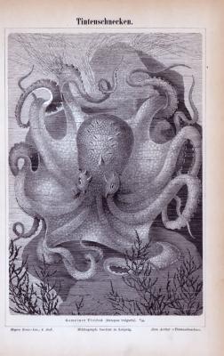 Stich aus 1885 zeigt einen Octupus in der Tiefsee.