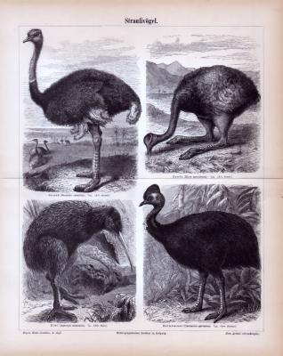 Stiche aus 1885 zeigen 4 Arten von Straußenvögeln in natürlicher Szenerie.