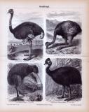 Stiche aus 1885 zeigen 4 Arten von Straußenvögeln in...