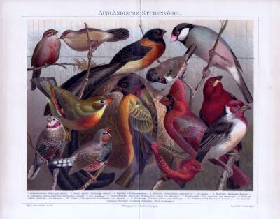 Chromolithographie aus 1885 zeigt verschiedene ausländische Stubenvögel.