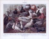 Chromolithographie aus 1885 zeigt verschiedene Arten von Tauben.