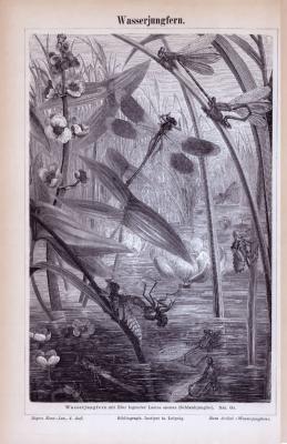 Stich aus 1885 zeigt Wasserjungfern in natürlicher Umgebung an einem Gewässer.