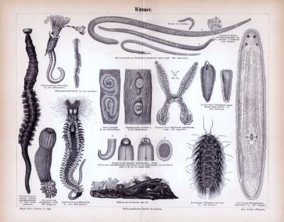 Stiche aus 1885 zeigen verschiedene Arten von Würmern.