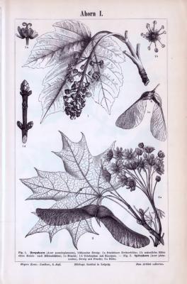 Der Stich zeigt Blüten, Samen und Blätter des Ahornbaumes. Die Abbildungen beziehen sich auf Bergarhorn und Spitzahorn. Der Stich ist aus einem Abdruck um 1893.