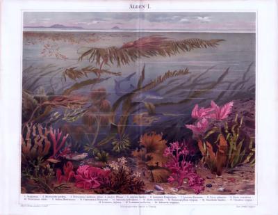 Die Chromolithographie von 1893 zeigt Algen in einem Ozean abgebildet. Es sind 20 verschiedene Algenarten in farbiger Abbildung enthalten.