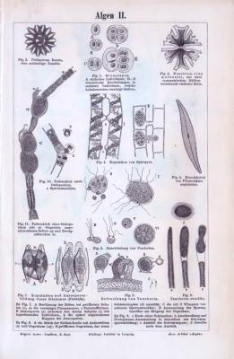 Der Abdruck des Stiches von 1893 zeigt den mikroskopischen Aufbau verschiedener Algen.