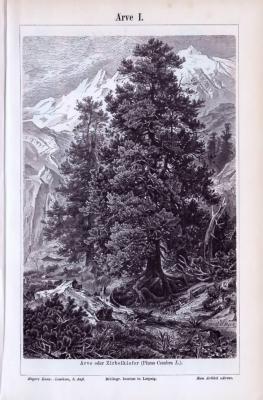 Die Stiche zeigen eine Arve oder Zirbelkiefer Pinus Cembra. Auf dem zweiten Blatt werden Triebe, Zapfen und Samen abgebildet. Der Abdruck ist um 1893 entstanden.