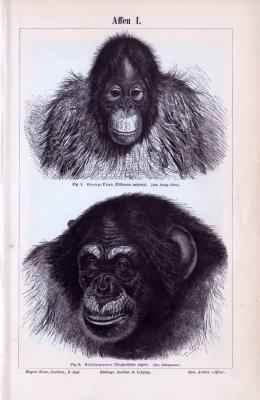 Stich eines Orang Utans und eines Schimpansen. Veröffentlicht im Jahr 1893.