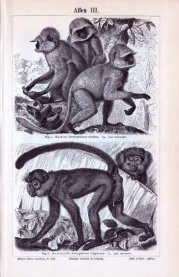 Stiche von 1893 zeigen 2 Affengruppen, abgebildet sind Hulman Affen und Mohrenaffen Meerkatzen.