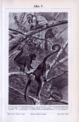 Der Stich von 1893 zeigt 5 Affenarten in einer Urwaldumgebung.