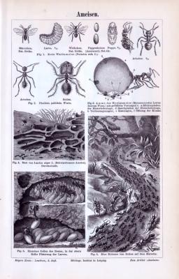 Der Stich zeigt Ameisen, Ameisenlarven und Ameisenpuppen, sowie Szenen aus deren Umgebung. Dargestellt sind verschiedene Ameisenarten. Hergestellt in 1893.