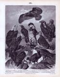 Der Druck aus 1893 zeigt 14 verschiedene Adlerarten. Steinadler, Königsadler, Schreiadler, Steppenadler, Zwergadler, Keilschwanzadler, Habichtsadler, Schopfadler, Kampfadler, Harpyie, Schreiseeadler, Seeadler, Weißkopfseeadler und Flußadler.