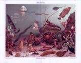 Die Chromolithographie zeigt verschiedene Meerestiere in derren natürlicher Umgebung.