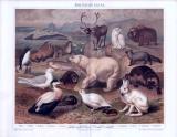 Die Chromolithographie von 1893 zeigt 18 verschiedene Tiere in ihrem arktischen Lebensraum.