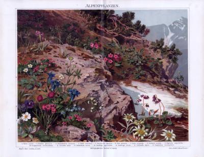 Die Chromolithographie von 1893 zeigt 16 verschiedene Alpenpflanzen.