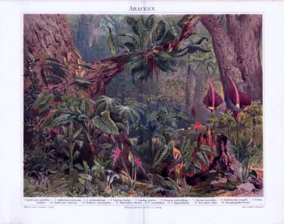 Chromolithographie von 1893. Abgebildet sind 16 verschiedene Araceenarten (Ahornstabgewächse).