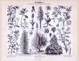Stich aus 1893 zeigt verschiedene Pflanzen, die zur...