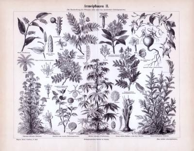 Stich aus 1893 zeigt verschiedene Pflanzen, die zur Arzneimittelherstellung verwendet werden. Details wie Wurzel, Durchschnittansichten von Blüten, Früchten sind ebenso abgebildet.
