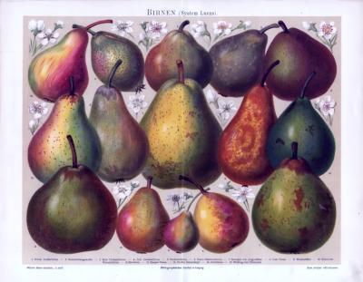 Farbige Chromolithographie aus 1893. Gezeigt werden 15 verschiedene Birnensorten anhand Ihrer Früchte nach dem System Lucas.
