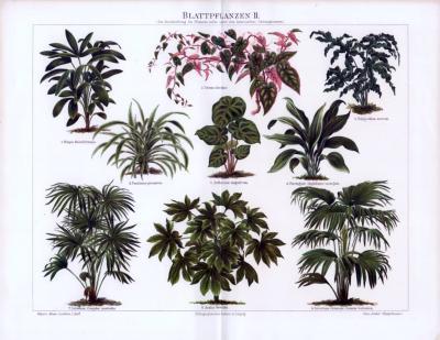 Farbige Chromolithographie aus 1893 mit Abbildungen von 9 Blattpflanzen. Mit lateinischen Gattungsnamen.
