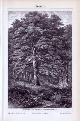 Der Stich aus 1893 zeigt eine majestätische Rotbuche in der Natur.
