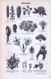 Blütenbestäubung + Blütenstände ca. 1893 Original der Zeit