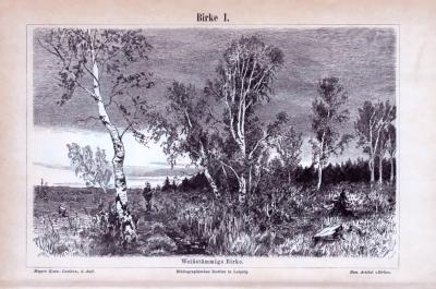 Der Stich aus 1893 zeigt ein Ensemble von weißstämmigen Birken. Die Rückseite enthält wissenschaftliche Darstellungen von Blättern, Blüten und Früchten der Birke.