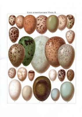 Die farbige Chromolithographie aus 1893 zeigt Abbildungen von 26 verschiedenen Eiern europäischer Vögel.
