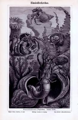 Stich aus 1893 zeigt Einsiedlerkrebse in Ihrer natürlichen Umgebung.