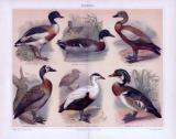 Chromolithographie aus 1893 zeigt 6 verschiedene Entenarten.