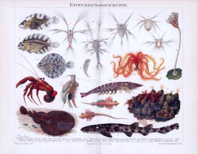 Chromolithographie aus 1893 zeigt verschiedene Meeresbewohner zum Thema Entwicklungsgeschichte.